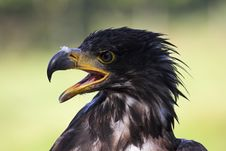 Free Young Eagle Royalty Free Stock Images - 1396949