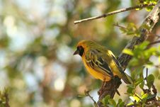 Yellow African Bird