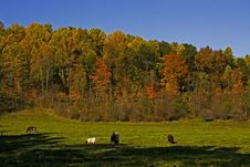 Fall Pasture With Cattle Stock Photography