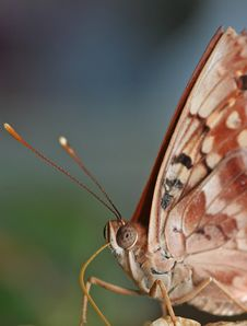 Free Butterfly Portrait Royalty Free Stock Photos - 1398368