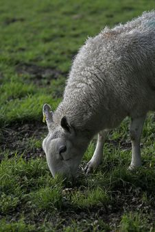 Free Sheep Feeding Stock Images - 1398684
