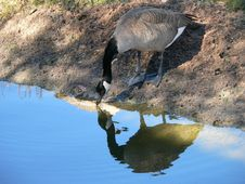 Free Canadian Goose Stock Photography - 1398952