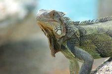 Free Iguana 11 Stock Images - 1399334