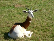 Free Dama Gazelle Stock Photos - 1399513