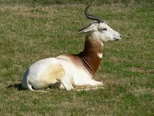 Free Dama Gazelle Royalty Free Stock Photo - 1399515