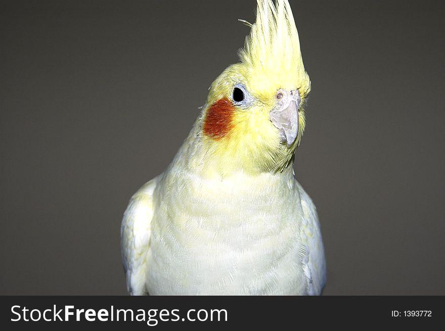 Yellow white cockatiel