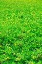 Free Yellow Flower Field Stock Image - 13900261