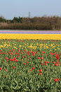 Free Fields With Tulips Stock Image - 13906971