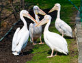 Free Pelicans Stock Images - 13908544