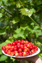 Free Tasty Cherries Royalty Free Stock Image - 13909046