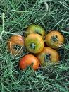 Free Tomato Stock Image - 13909711