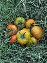 Free Tomato Stock Photography - 13909742