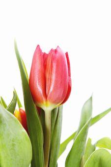 Free Bouquet Of Tulip Stock Photo - 13900000