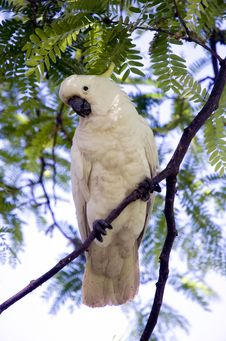 Cockatoo On A Tree Royalty Free Stock Photography
