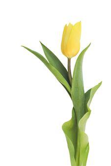 Free Yellow Tulip On White Stock Image - 13900931