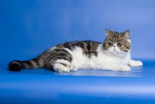 Free Exotic Cat Stock Photos - 13900963
