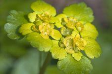 Free Spleen Herb - Chrysosplendium Alternifolium Stock Image - 13901091