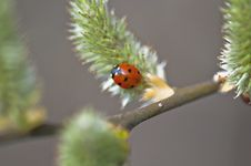 Ladybirds - Coccinellidae Stock Photography