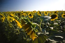 Free Sunflowers Royalty Free Stock Photography - 13901727