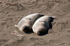 Free Pair Of Elephant Seals Royalty Free Stock Photo - 13901735