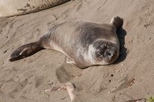 Free Elephant Seal Stock Photos - 13901823