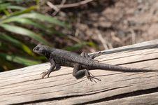 Free Lizard Stock Photos - 13901923