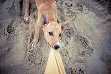 Free Puppy Playing And Dragging Pants. Royalty Free Stock Photography - 13901997