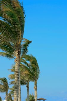 Free Palm Tree In The Wind Stock Image - 13902101