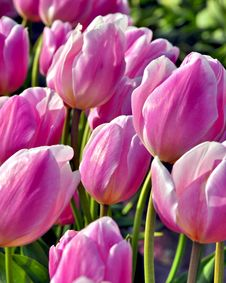 Pink Tulips In Spring Stock Photo