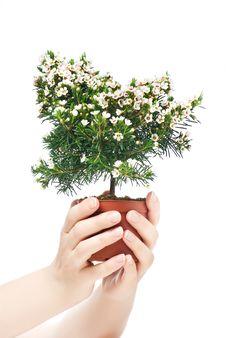 Free Chamelaucium Uncinatum Stock Images - 13902464