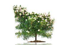 Free Chamelaucium Uncinatum Royalty Free Stock Image - 13902566