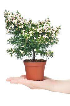 Free Chamelaucium Uncinatum Royalty Free Stock Photography - 13902587