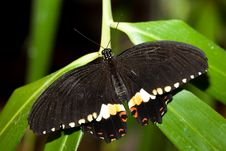 Papilio Polytes, Common Mormon Royalty Free Stock Photography