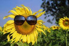Free Sunflower Wearing Sunglasses Stock Photography - 13904082