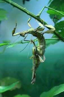 Free Stick-insects On Branch Stock Images - 13904344