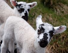 Twin Lambs. Stock Photo
