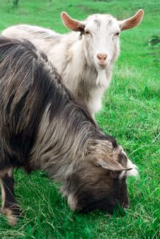 Free Two Goats In Green Summer Grass Stock Photo - 13906430