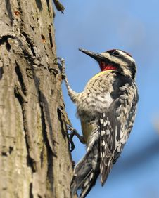 Free Downey Woodpecker Stock Image - 13907501