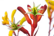 Free Kangaroo Paw Royalty Free Stock Photos - 13907668