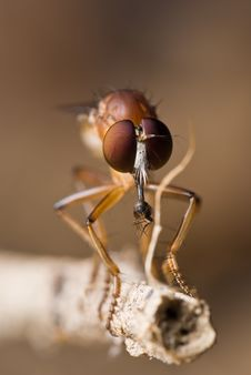 Free Robber Fly With Its Prey Royalty Free Stock Images - 13907769