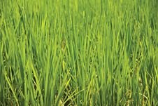 Free Rice Crops Royalty Free Stock Photo - 13907845