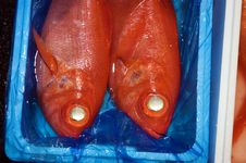 Two Red Fish In A Box Royalty Free Stock Photos