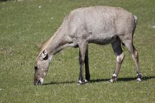 Free Nilgai On The Meadow Royalty Free Stock Photography - 13908677