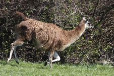 Running Guanaco Stock Images