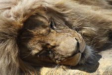 Free Detail Of Sleeping Lion Royalty Free Stock Image - 13908836