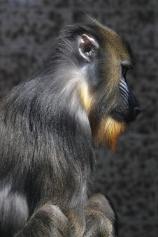 Free Profile Of Mandrill Stock Photography - 13908862