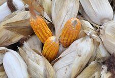 Free Corn Stock Photo - 13909230