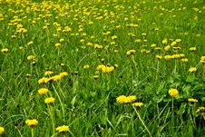 Free A Field Of Dandelions Royalty Free Stock Photo - 13909235
