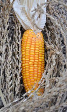 Free Corn Stock Photos - 13909383