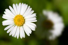 Free Daisies Under The Sun Stock Images - 13909544